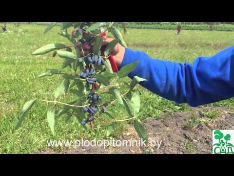 Жимолость камчатская: характеристика, агротехника