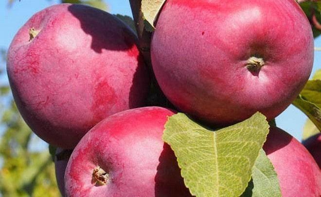 Яблоня «заветное»: характеристика и описание
