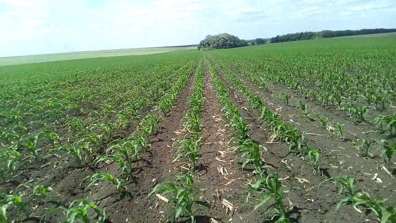 Сорняки кукурузы: особенности появления в различных зонах