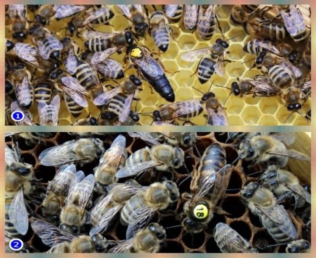 Пчелы карника: особенности + описание породы