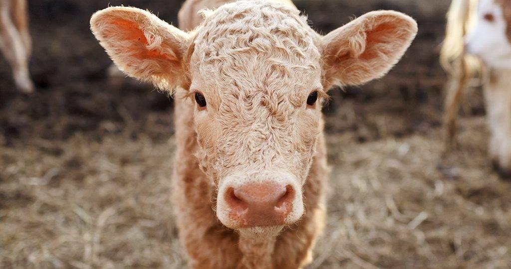 Почему телёнок или корова скрипят зубами?