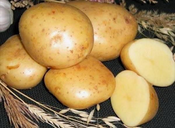 Картофель гала: описание сорта, фото, отзывы