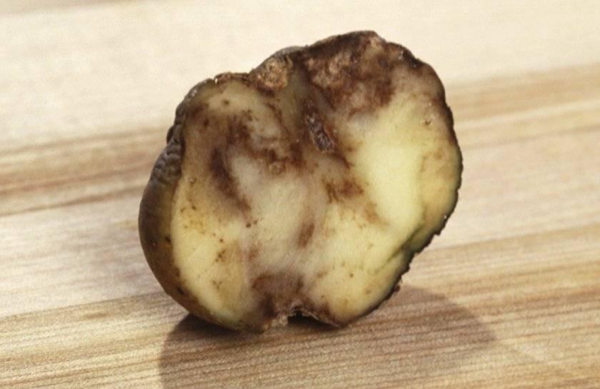 Сорт картофеля ароза: описание и характеристика, отзывы