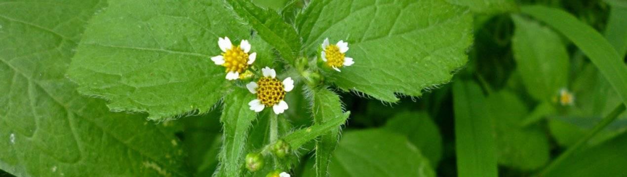 Борьба с американкой на садовом участке. трава американка: описание сорняка, свойства, как вывести