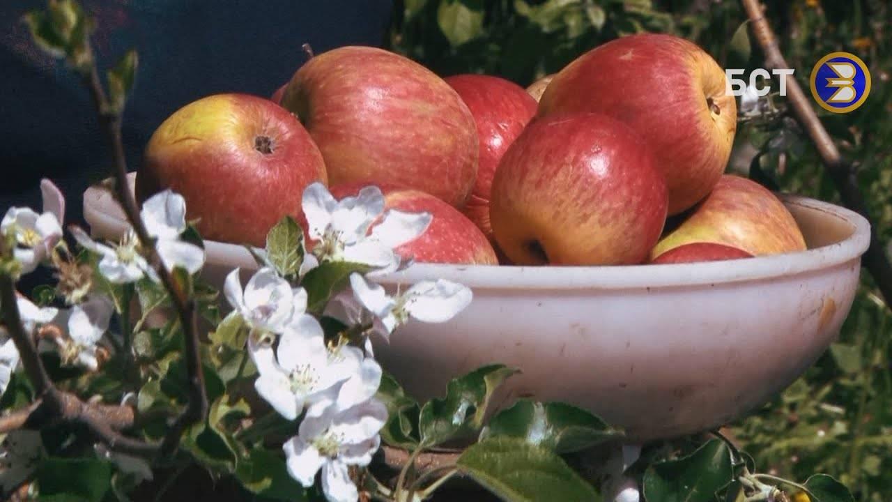 О яблоне башкирский красавец: описание сорта, характеристики, агротехника