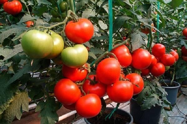 Что такое полудетерминантный сорт помидор