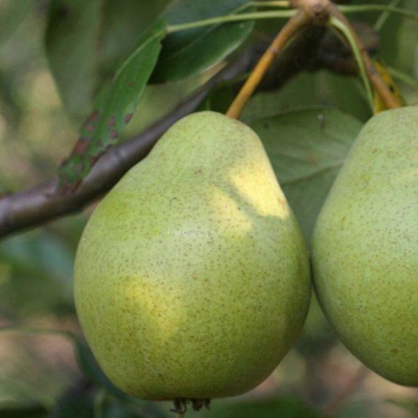 Как ухаживать за грушей августовская роса: правила выращивания и особенности сорта