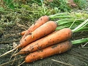 Лучшие сорта моркови для хранения