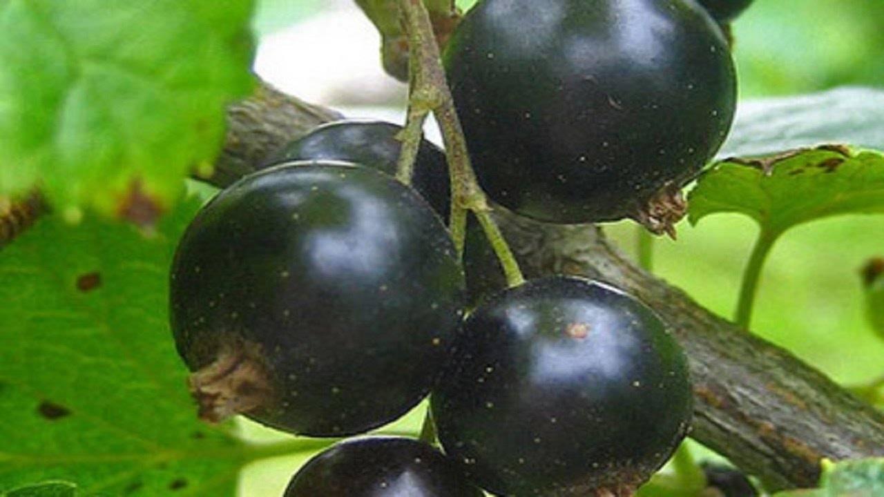 Описание черной смородины сорта белорусская сладкая, посадка и уход