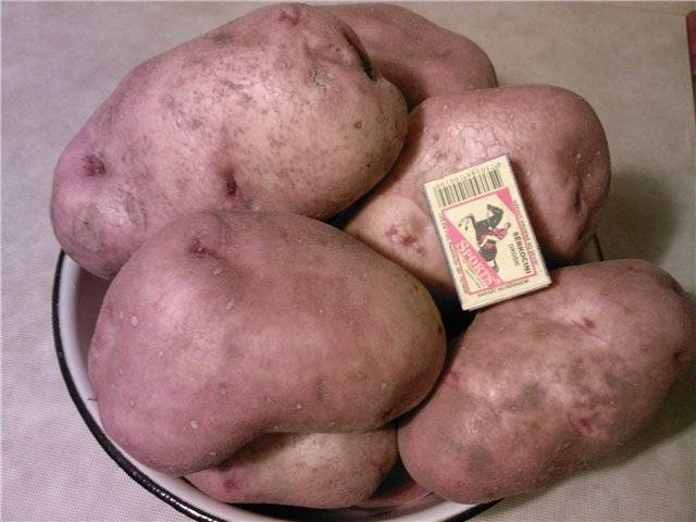 Урожайность картофеля славянка — плюсы и минусы сорта