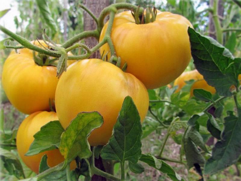 Томат гигант лимонный: характеристика и описание индетерминантного сорта с фото