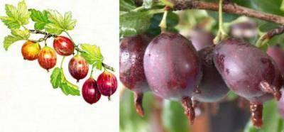 Крыжовник финик: описание позднего сорта, особенности выращивания, посадка и дальнейший уход