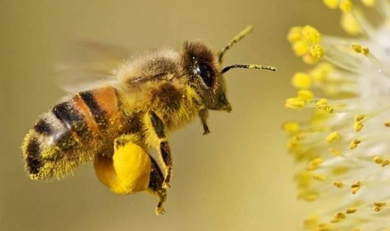 Породы пчел: фото, описание, характеристика, методы определения и советы по выбору