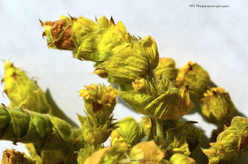Полезные свойства лимонника крымского