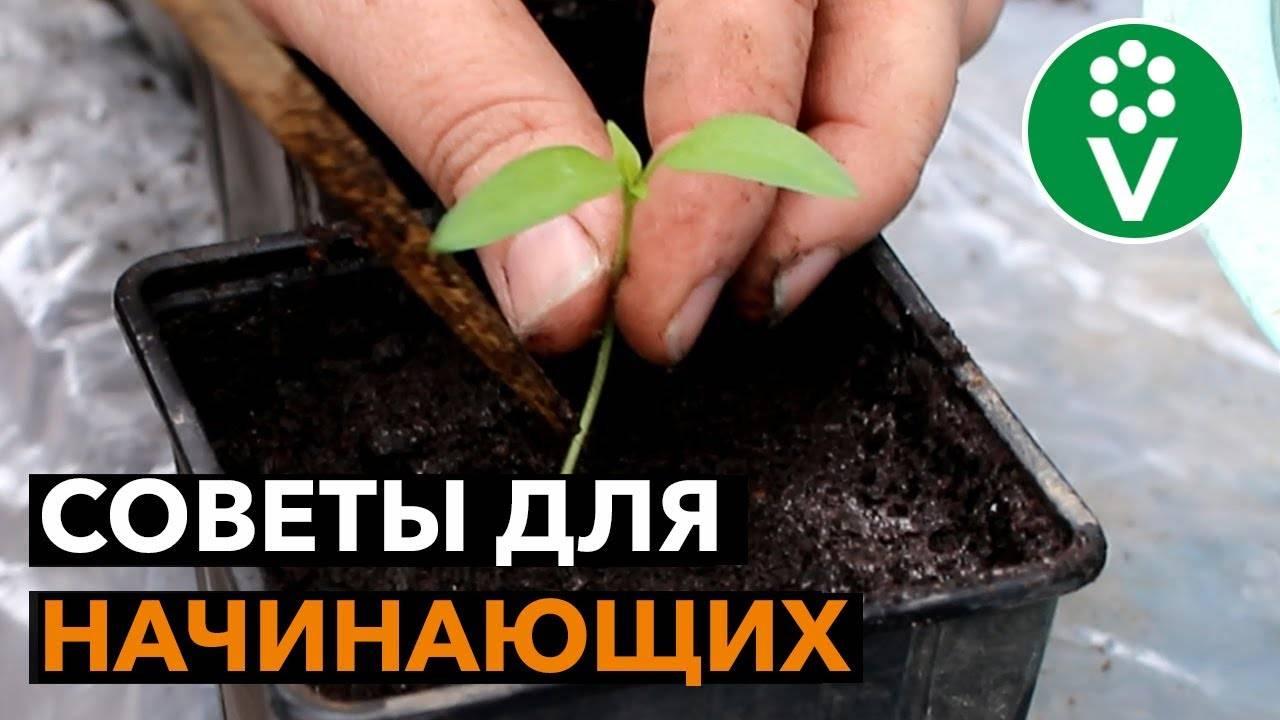Пикировка перца и баклажан: нужна ли она, когда и как правильно пикировать рассаду, уход после пересадки