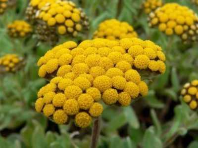 Цветы гелихризума: посадка и уход в открытом грунте