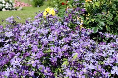 Кустовой клематис (34 фото): описание и сорта. посадка и уход за кустами. как рассадить цветок делением кустарника?