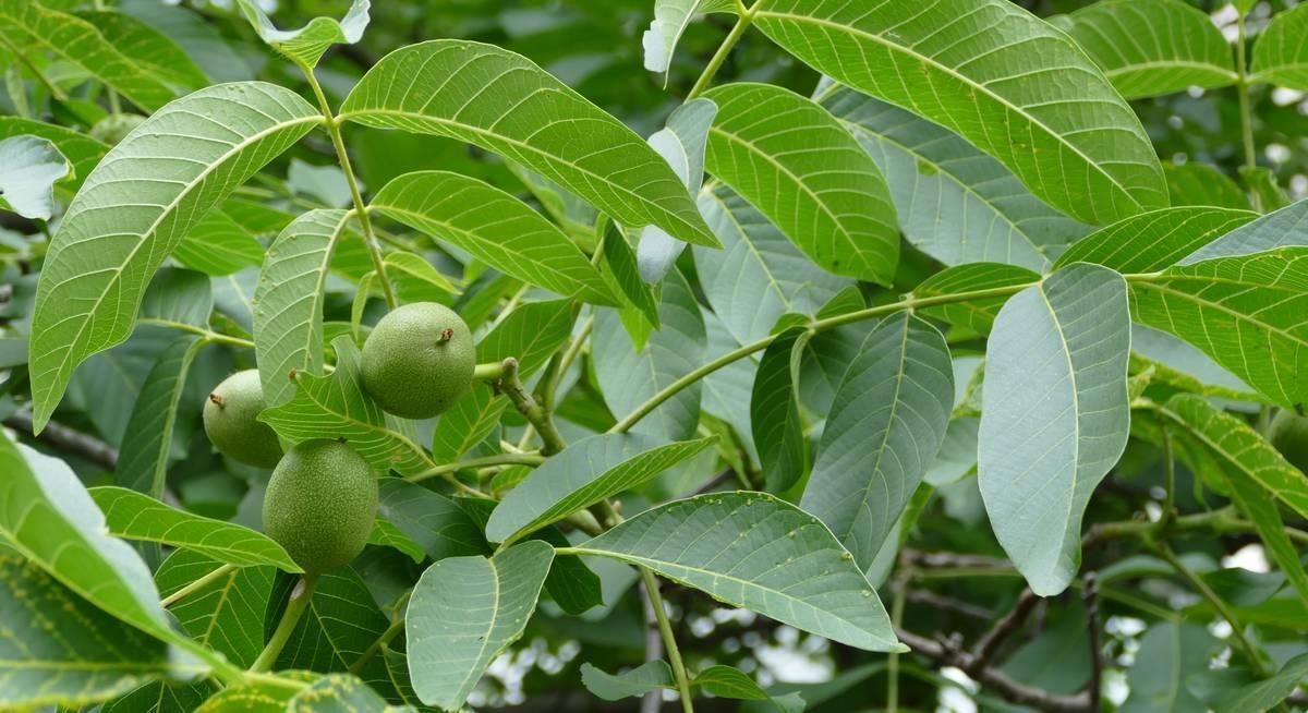 Защита ореха от вредителей и болезней