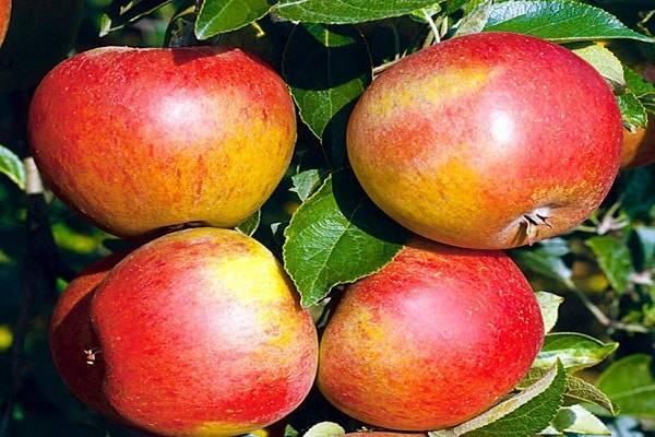 Выращивание летнего сорта яблони мечта