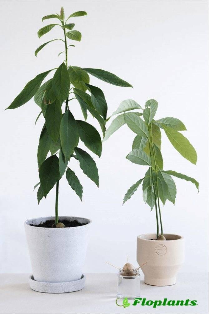 Почему сохнут листья у авокадо в горшке
