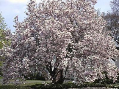 Магнолия: посадка и уход в открытом грунте, описание сортов, как вырастить из семян