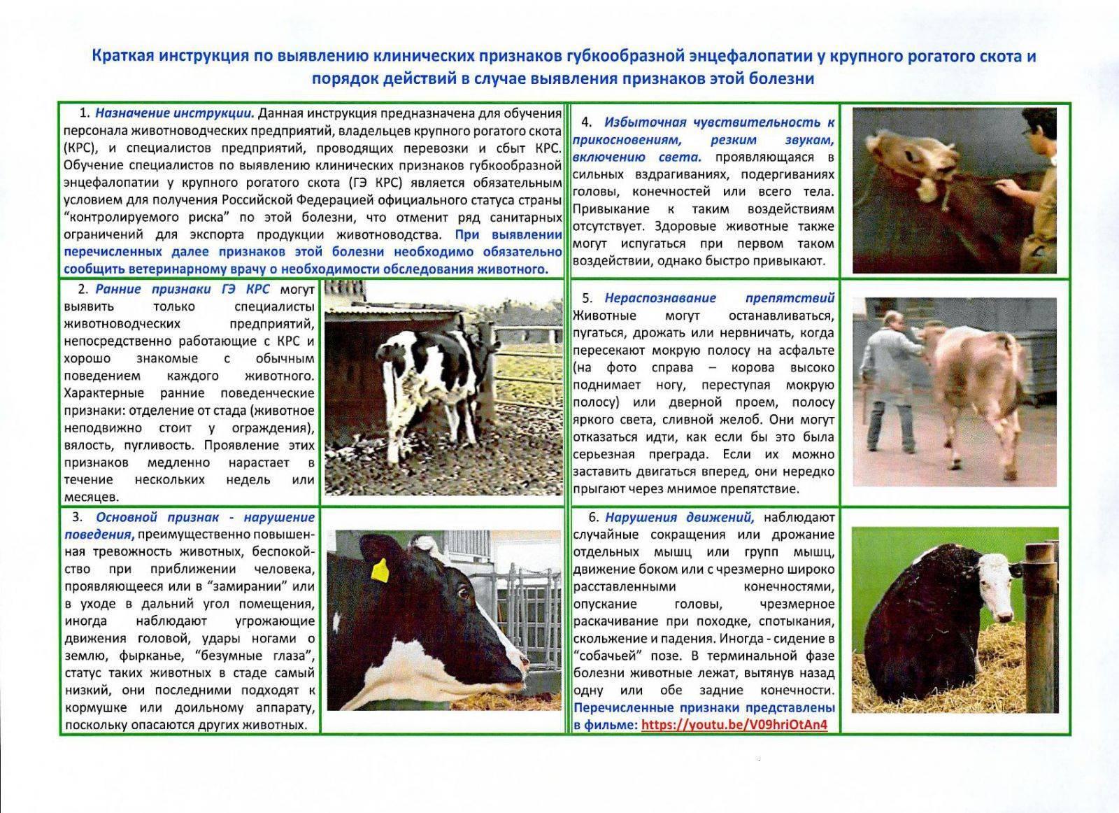 Коровье бешенство: особенности заболевания, методы лечения, способы заражения