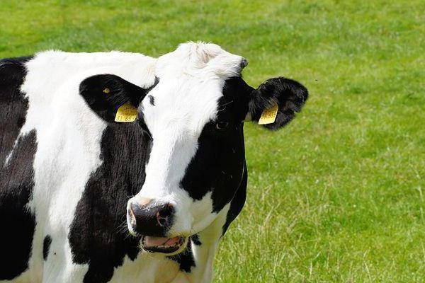 Анатомо-топографические данные крупного рогатого скота
