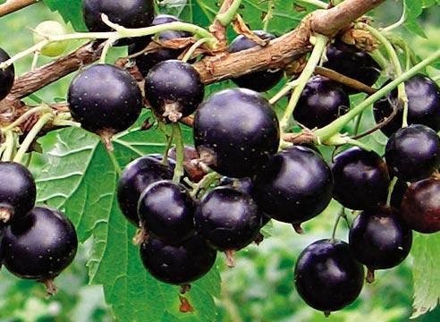Смородина чёрная экзотика: характеристики сорта