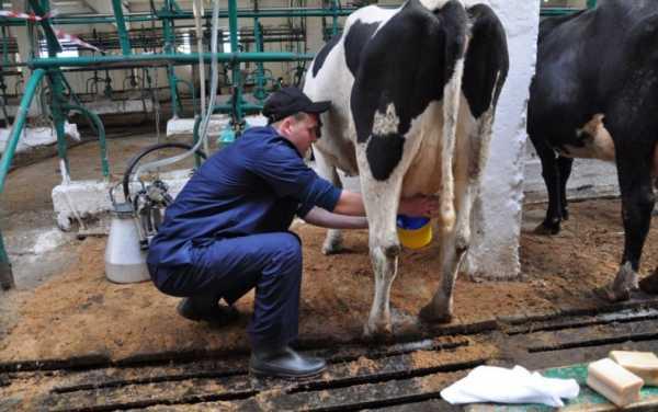 Антибрык для коров: как сделать своими руками? как правильно спутать корову, чтобы можно было подоить? народные методы, чтобы отучить первотелку лягаться