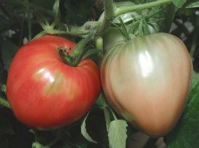 Стабильные урожаи в холод и жару — томат русские колокола: характеристика и описание сорта