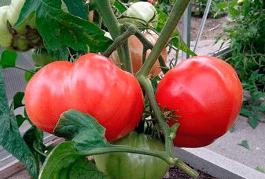 Характеристика и описание сорта томатов «бабушкин секрет»