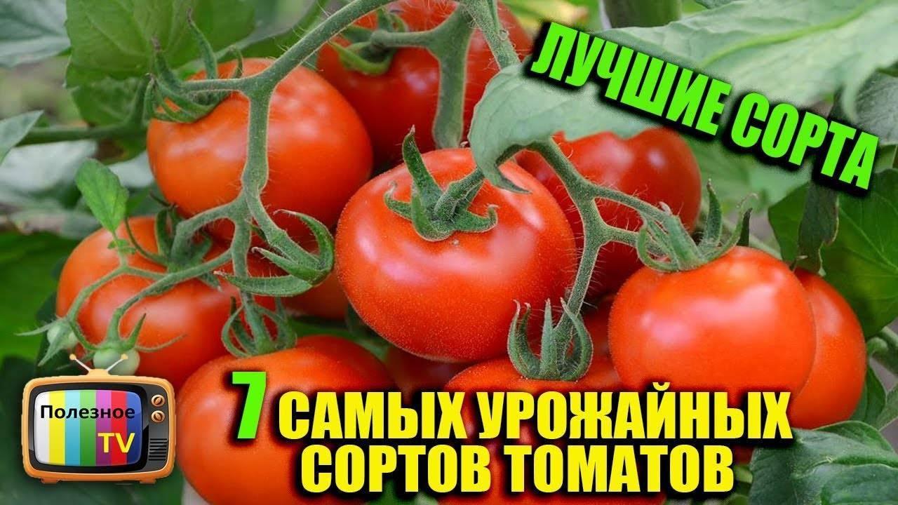 Лучшие сорта помидор для открытого грунта и теплиц