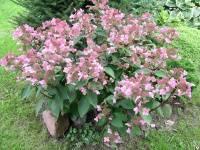 Мэджикал пинкербелл (magical pinkerbell): описание сорта древовидной гортензии