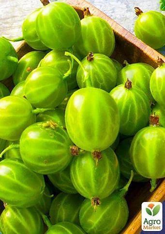 Крыжовник берилл: характеристика, особенности выращивания и размножения