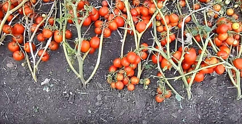 Помидоры  «жигало»: описание, агротехника выращивания