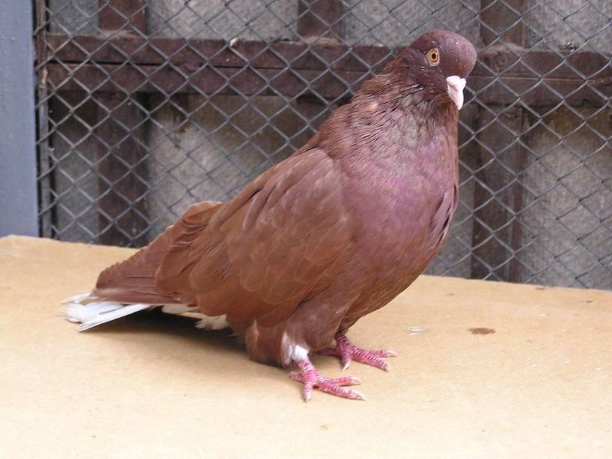 Самые красивые голуби в мире. породы голубей с фотографиями и названиями: видео