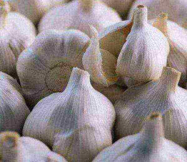 Озимый чеснок сорта «кавалер»: урожайный и зимостойкий