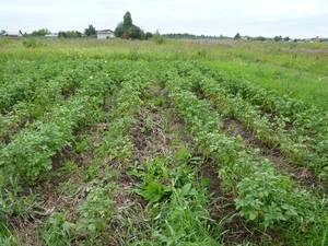 Как избавиться от пырея на огороде: народные средства и гербициды