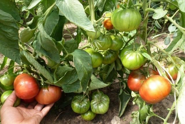 Томат под названием покоритель севера – описание гибрида, агротехника и отзывы: разбираем основательно