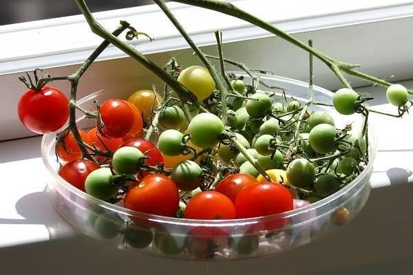 Высокоурожайный сорт томата «мясистый красавец» для выращивания в теплице: описание, характеристика, посев на рассаду, подкормка, урожайность, фото, видео и самые распространенные болезни томатов