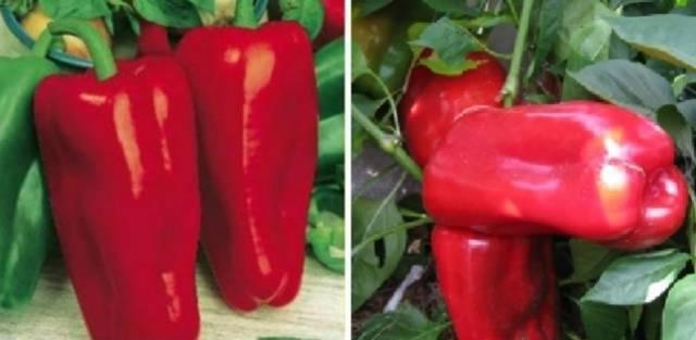 Перец сладкий атлантик f1 - фото урожая, цены, отзывы и особенности выращивания