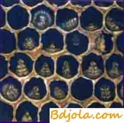Профилактика и лечение аскосфероза у пчел