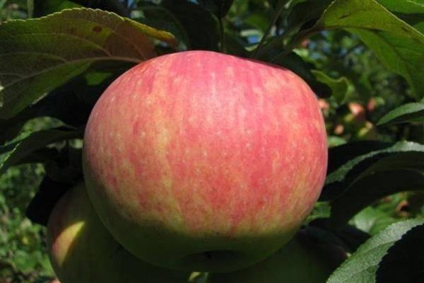 Описание яблони сорта башкирская красавица и тонкости выращивания