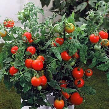 Детерминантный сорт помидор что это