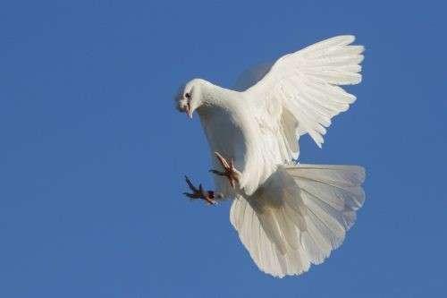 Такла: турецкие бойные голуби