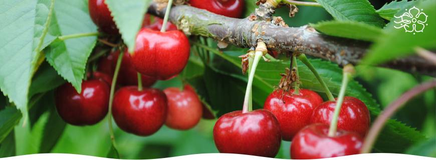 Уход за черешней весной на даче: основные мероприятия для получения высокого урожая