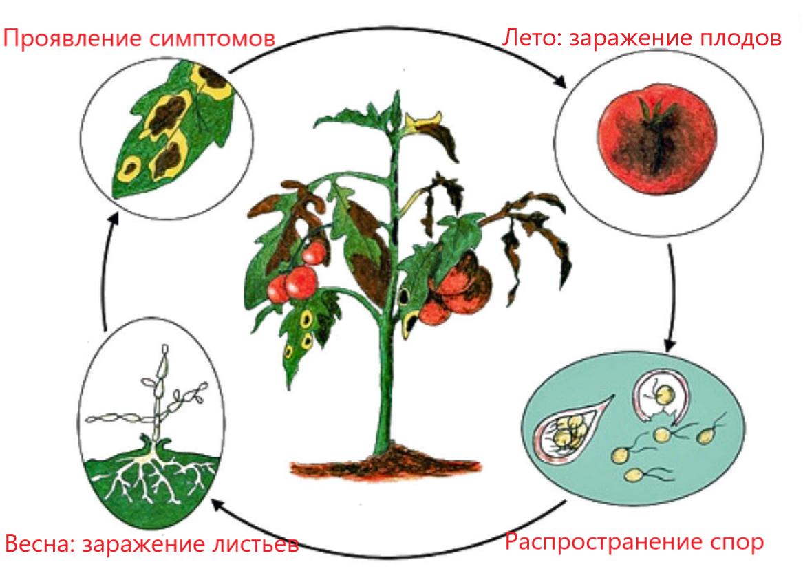 Фитофтора на помидорах как бороться народными средствами - знания нужные каждому огороднику. | красивый дом и сад