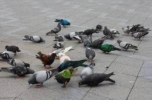 Чем кормить голубя в домашних условиях? особенности рациона голубей