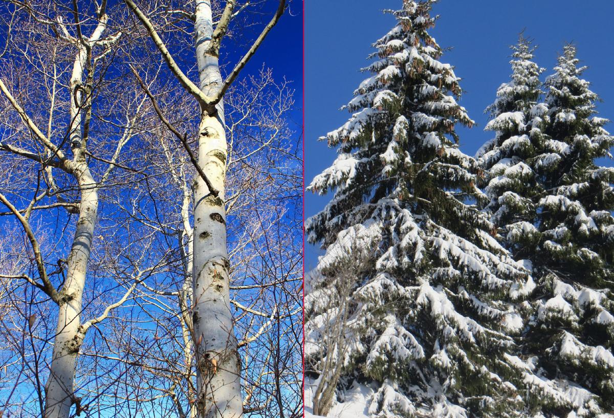 Хвойные деревья с опадающей на зиму хвоей. какое дерево сбрасывает хвою на зиму кроме лиственницы, листопадные хвойные сбрасывает ли лиственница на зиму