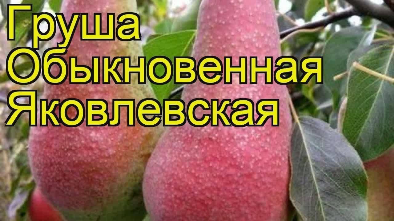 Высокорослый сорт для средней полосы рф — груша «осенняя яковлева»